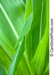 Detail of young green corn leaves in the field, agricultural bacground.