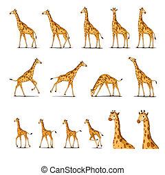 African Giraffe Isolated on WB - Set of African Giraffes...