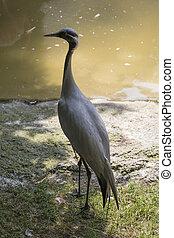 Grus, Virgo, pájaro