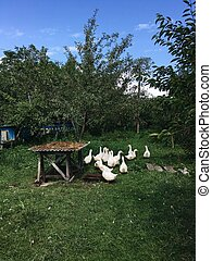 white geese on a green lawn - sunny day in the garden of a...
