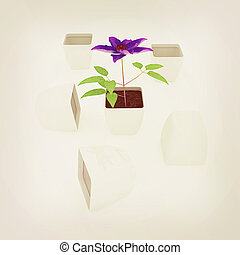 Clematis a beautiful flower in the white pot. 3D...
