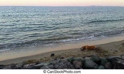 Golden Retriever Dog on the Beach - Lying Golden Retriever...