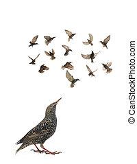 Starling - starling in flight Sturnus vulgaris isolated on...