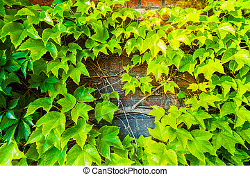 Parthenocissus tricuspidata against the background of a...