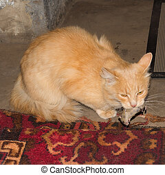 Red cat caught a gray mouse - Ginger tabby cat caught a gray...