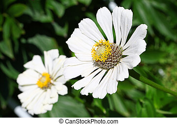 Camomile - Garden flower camomile with peslte and stamens