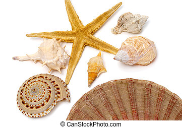 seashells - a stafish and some seashells isolated on a white...