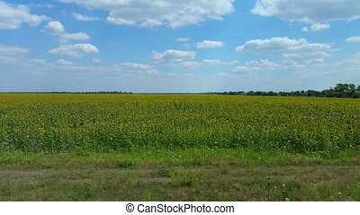 Field of yellow sunflowers and blue sky
