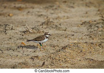 Little ringed plover (Charadrius dubius) with label on leg