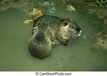Animal beaver sitting in water