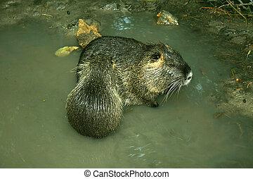 Animal beaver sitting in water