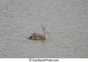Spot-billed pelican Pelecanus philippensis in nature at...