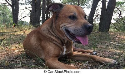 Staffordshire Bull Terrier lying on the ground in the forest
