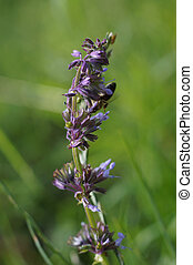 Lilac sage or whorled clary Salvia verticillata - detail of...