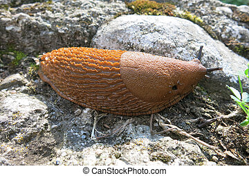 Spanish slug (Arion vulgaris) on the rock