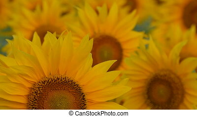 Sunflowers swaying in the light breeze on a sunny day. -...