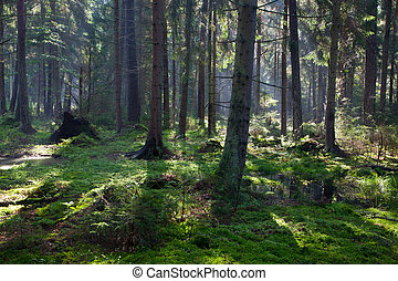 Wet oniferous stand of Bialowieza Forest - Wet coniferous...