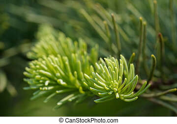 Evergreen fir needle closeup - New green growth at the tips...