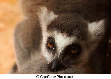 lemur catta - Close-up portrait of lemur catta