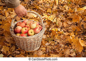 Basket with apples in mans hand on maple leaves