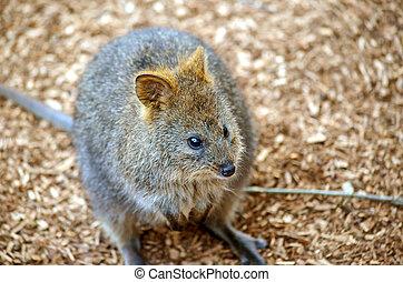 Australian Quokka (Setonix) - Quokka (Setonix brachyurus), a...