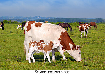 cow and little calf on pasture