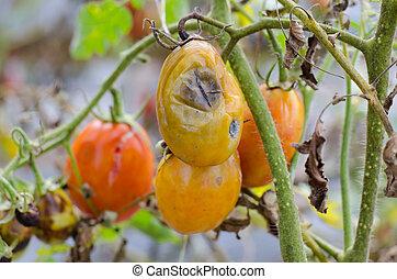 rotten tomato on garden
