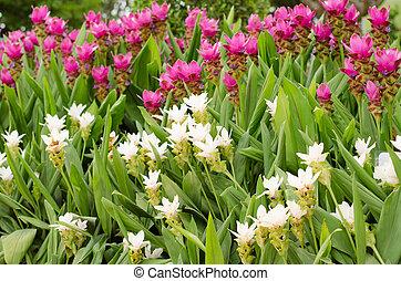 Siam Tulip blooming in garden
