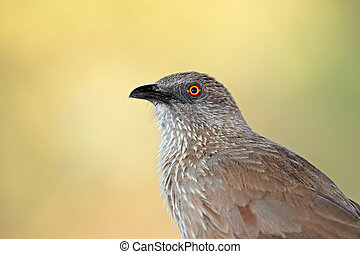 Arrow-marked babbler - Portrait of an arrow-marked babbler...