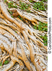 Tree Roots - Roots of an old Tree tangles Together