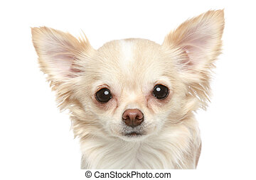 Long coat chihuahua closeup portrait on a white background