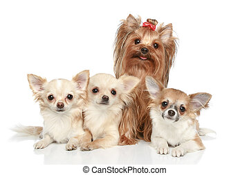 Long coat chihuahua and Yorkshire terrier on a white...