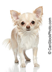 Long coat chihuahua on a white background - Long coat...