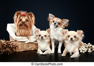 Long coat chihuahua and Yorkshire terrier on a dark-blue...