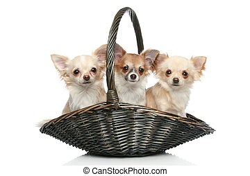 Long coat chihuahua in wattled basket on a white background