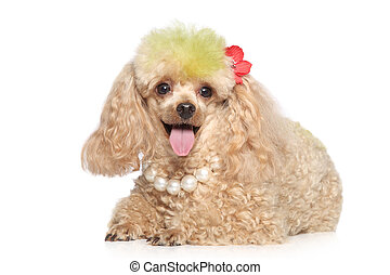 Charming apricot poodle with beads lying on a white...