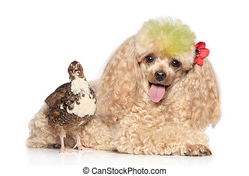 Charming apricot poodle with bird - Apricot poodle with a...