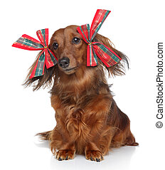 Funny Dachshund with red bows on a white background