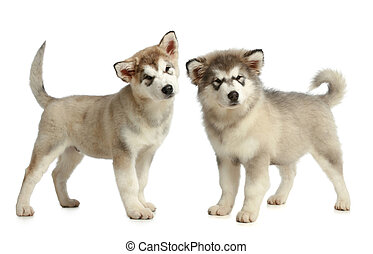 Alaskan Malamute puppies on a white background