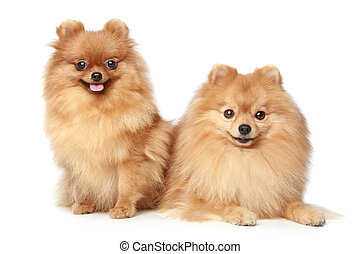 two Spitz puppies on white background
