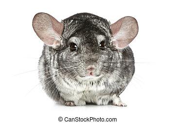 Chinchilla on a white background - Grey chinchilla on a...