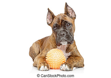 Germany Boxer puppy play wit toy - Germany Boxer puppy plays...