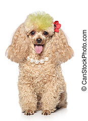 Charming apricot poodle with beads sits on a white...