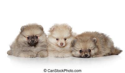 子犬, 白,  Pomeranian, 背景