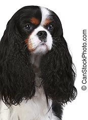 Cavalier King Charles spaniel dog. Close-up portrait