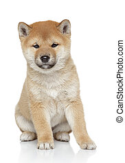 Shiba inu puppy portrait, isolated on white background