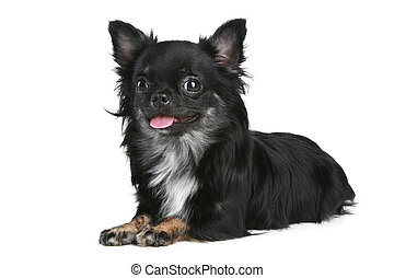 Long-haired chihuahua dog on a white background