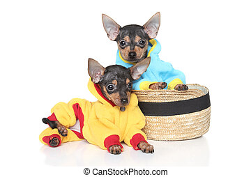 Toy Terriers in clothes