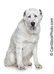 Central Asian Shepherd Dog portrait