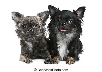 Two long-haired chihuahua dog on white background - Two...